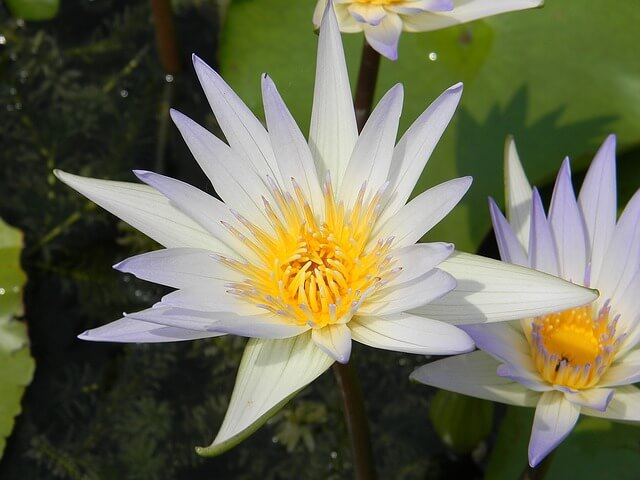 nymphaea-ampla