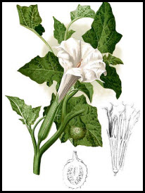 Datura Innoxia aphrodisierend