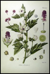 Eibisch-Althaea_officinalis