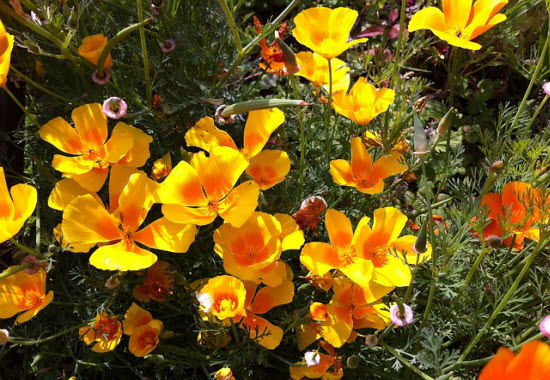 eschscholzia-californica-Goldmohn-kalifornischer-Mohn