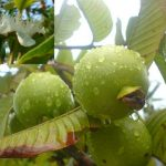 Apple_Guava